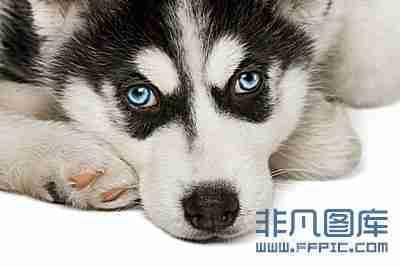 高清图片动物图片可爱哈士奇小狗头像高清图片